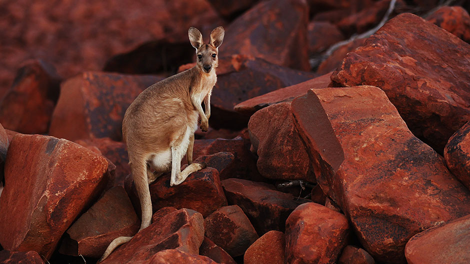 A wallaby looks on while standing on iron ore rocks close to the Dampier port